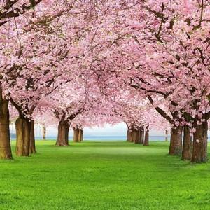 Фотообои W+G Cherry Trees 4 части 183x254 см (00385WG)