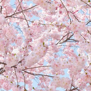 Фотообои W+G Pink Blossoms 8 частей 366 x 254 см (00155WG)