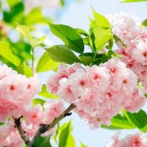 Фотообои W+G Sakura Blossom 8 частей 366 x 254 см (00133WG)