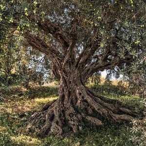 "Фотообои National Geographic Olive Tree (3,68х2,54 м) композиция ""снежинка данхилл снежная"" 35 ламп national tree co 81см"