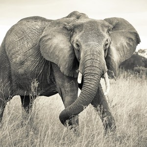 Фотообои National Geographic Elephant (3,68х2,48 м)