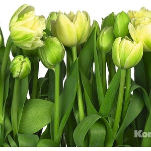 Фотообои Komar Tulips (3,68х2,54 м) (8-900) фотообои komar brooklyn brick 3 68х2 54 м 8 882
